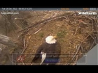 Eagles4kids Bald Eagle Nest - Dec 18 2012 - 843 am - Sweet Lucy's Arrival and visit to her nest